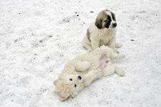 Free Romanian Shepherd Puppies Royalty Free Stock Photography - 29073677