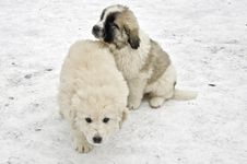 Free Romanian Shepherd Puppies Royalty Free Stock Photos - 29073678