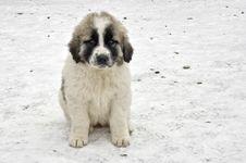 Free Romanian Shepherd Puppy Stock Image - 29073681