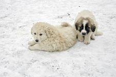 Free Romanian Shepherd Puppies Royalty Free Stock Image - 29073686