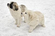 Free Romanian Shepherd Puppies Royalty Free Stock Photography - 29073687