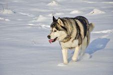 Free Close Up Of Siberian Husky Royalty Free Stock Photos - 29073718