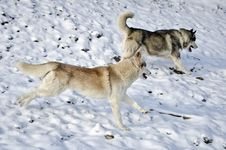Two Husky Dogs Running Stock Photos
