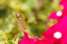 Free Praying Mantis Royalty Free Stock Images - 29080629