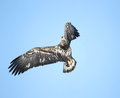 Free Bald Eagle In Flight Against A Blue Sky Royalty Free Stock Images - 29096179