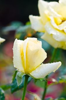 Free Yellow Roses. Royalty Free Stock Photo - 29096275