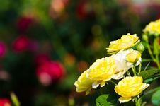 Free Yellow Roses. Stock Image - 29096291