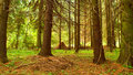 Free Morning In A Coniferous Wood. Stock Photo - 2917210