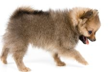 Free The Puppy Of The Spitz-dog Stock Images - 2910224