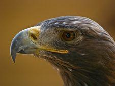 Free Golden Eagle Stock Image - 2911181