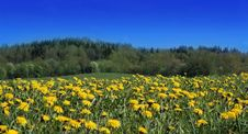 Free Field With Yellow Dandelions Royalty Free Stock Image - 2911906