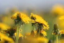 Free Yellow Dandelions Stock Image - 2911921