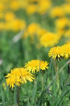 Free Yellow Dandelions Royalty Free Stock Images - 2911929