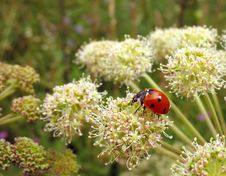 Red Ladybug (Coccinella) Stock Images