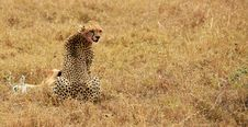 Free Cheeta Having Dinner Royalty Free Stock Photos - 2912808