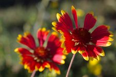 Free Two Red Flowers Royalty Free Stock Photos - 2913068