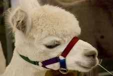 Free Alpaca Stock Photos - 2913563