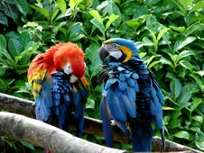 Free Couple Parrots Royalty Free Stock Image - 2913606