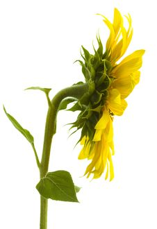 Free Sunflower Royalty Free Stock Photography - 2914847