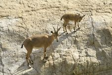 Ibex In The Dead Sea Area Royalty Free Stock Photos