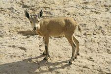 Ibex In The Dead Sea Area Stock Photos