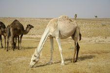 Free Camel In Sede Boker Desert Royalty Free Stock Photos - 2916708
