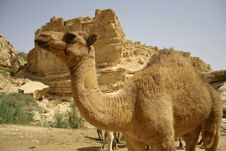 Free Camel In Sede Boker Desert Royalty Free Stock Image - 2917956