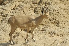 Ibex In The Dead Sea Area Royalty Free Stock Image