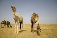 Free Camel In Sede Boker Desert Royalty Free Stock Images - 2918599