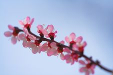 Free Cherry Blossoms Royalty Free Stock Photography - 2918917