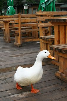 Free Funny Duck In The Resteurant Royalty Free Stock Photos - 2919018