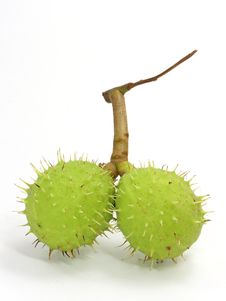 Free Green Chestnut Stock Photos - 2919223