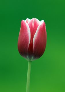 Free Red Tulip Royalty Free Stock Images - 2919849
