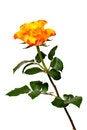 Free Flaming Rose Stock Image - 29104931