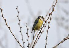 Free Yellow Spring Bird Royalty Free Stock Images - 29102879