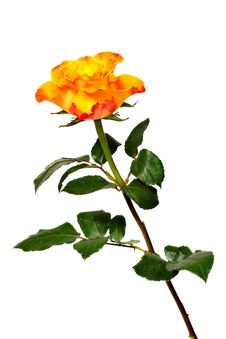 Free Flaming Rose Stock Image - 29104931