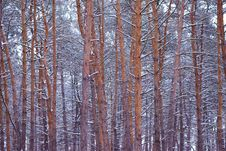 Free Beautiful Pine Winter Forest Royalty Free Stock Image - 29106986