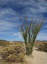 Free Ocotillo Cactus Royalty Free Stock Photos - 29110918