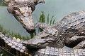 Free Big Crocodiles Royalty Free Stock Photos - 29118088