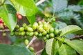 Free Green Coffee Berries Stock Image - 29118851