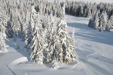 Free Winter Look Of Fir Forest Royalty Free Stock Photos - 29110168