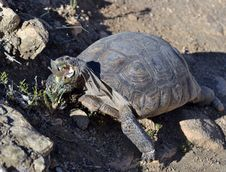 Free Desert Tortoise Feeding Royalty Free Stock Photography - 29110927