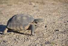 Free Desert Tortoise Stock Photography - 29110942