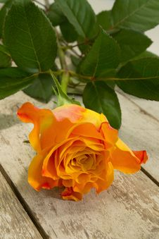 Free Single Rose... Royalty Free Stock Photos - 29111838