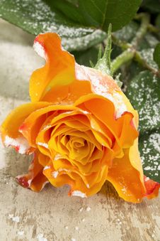 Snow On Rose... Royalty Free Stock Images
