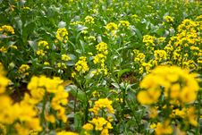 Free Rape Flowers Royalty Free Stock Photo - 29117715
