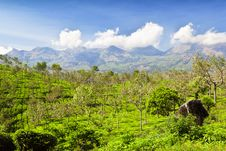 Free Tea Plantation Royalty Free Stock Image - 29117886