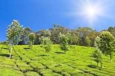 Free Tea Plantation Stock Image - 29117911