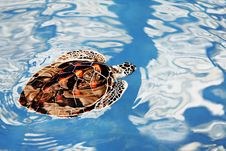Turtle Swimming Royalty Free Stock Image