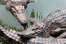 Free Big Crocodiles Royalty Free Stock Photos - 29118088